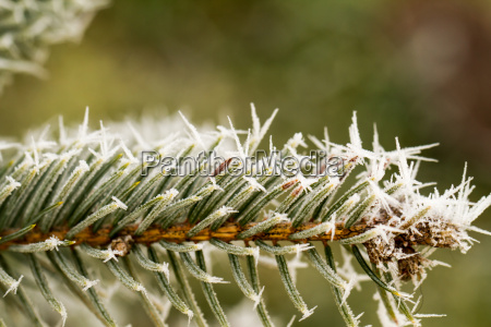 rime hoarfrost on a pine branch