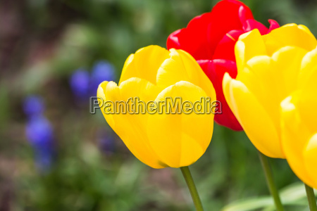 tulips background red yellow