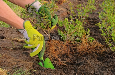 plant hedge planting a hedge