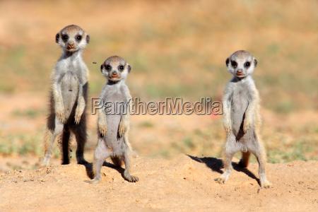 meerkat babys