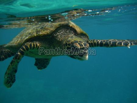 turtle salt water sea ocean water