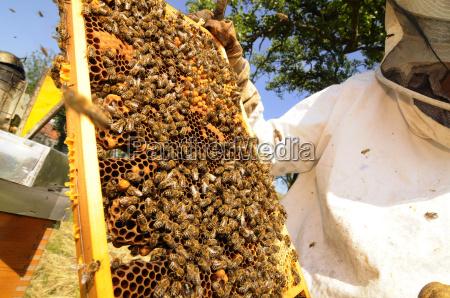 wabe bienenwabe bienenzucht imkerei biene bienen tiere