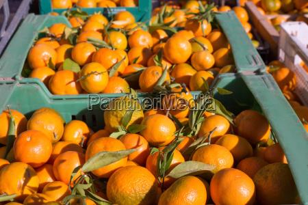 frutos de mandarina naranja en la