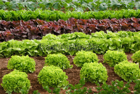 rows of lettuce plants before harvest