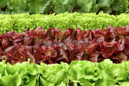 rows of lettuce plants before harvest