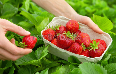 perfect strawberries fresh from the bush