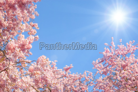 flowering cherry trees and the sun