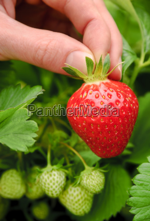 pick perfect ripe strawberry