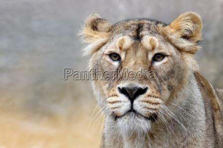 die, lÖwin, -, panthera, leo - 8722646
