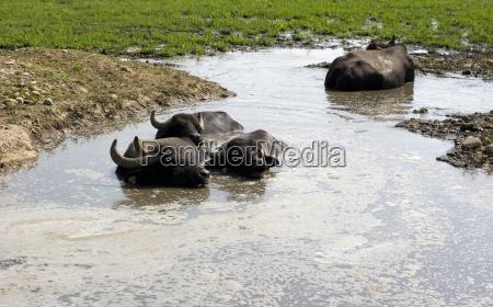 buffaloes in einem schlammigen wasser