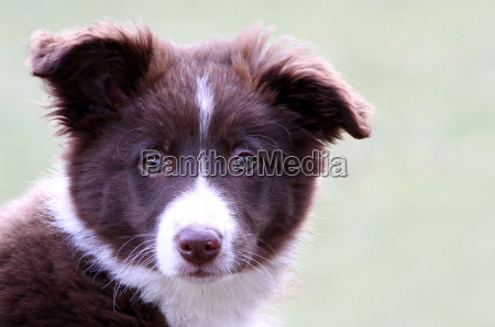 border collie 3 monate alt