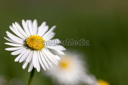 daisy blossom makro auf gruen