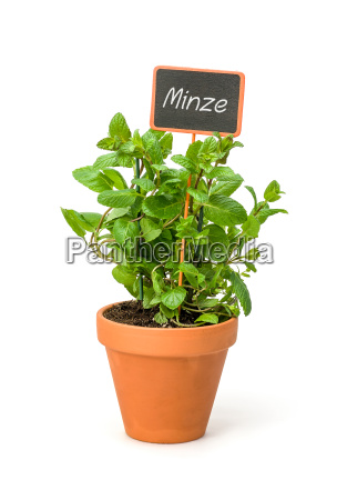 mint in a clay pot with