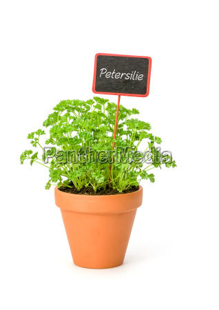 parsley in clay pot with plants