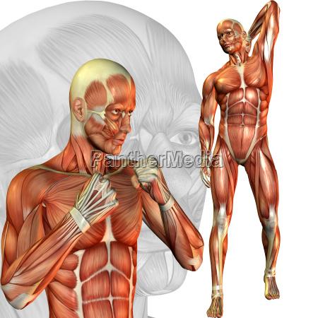 maennliche muskelstudie