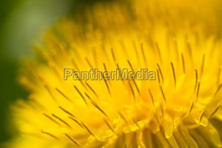 extreme macro of a dandelion blossom