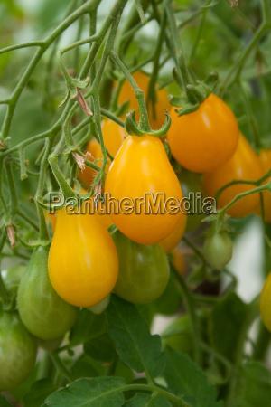 tomatoes - 8918394