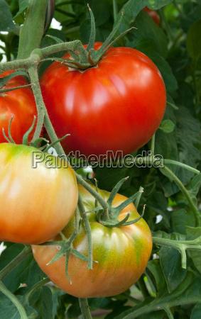 tomatoes - 8918396