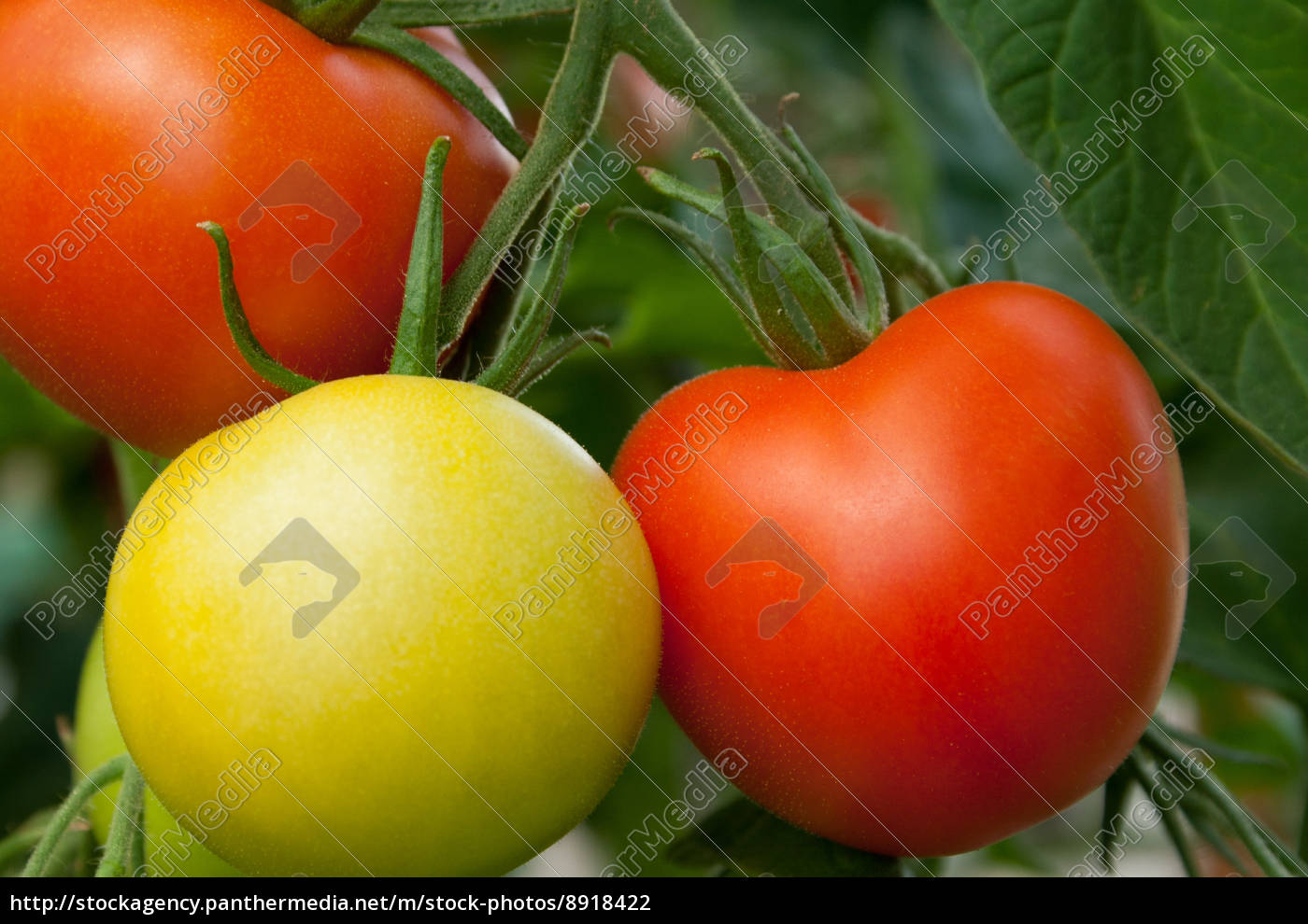 tomatoes - 8918422