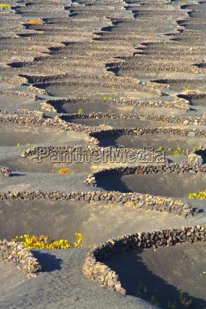 vineyard in volcaniv area la geria