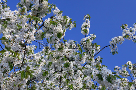 springtime blossoms cherry tree with