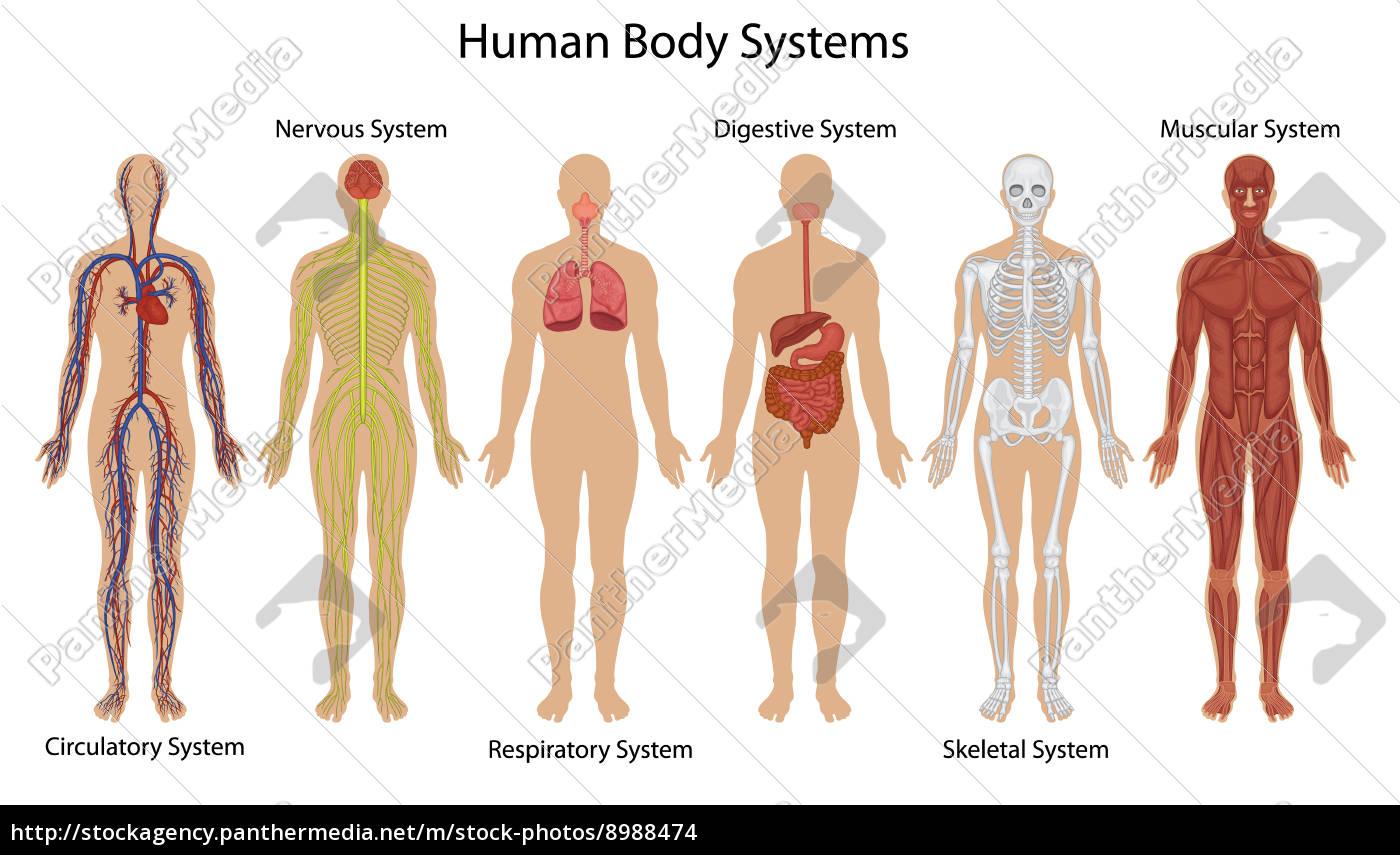 menschliche körpersysteme - Stockfoto - #8988474 - Bildagentur ...