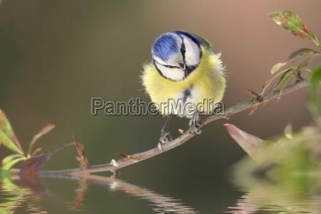 the blue meise cyanistes caeruleus syn