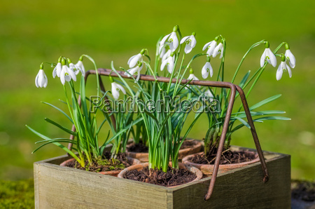 snowdrops in old wooden box