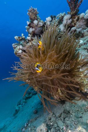 anemone und anemonenfisch im roten meer
