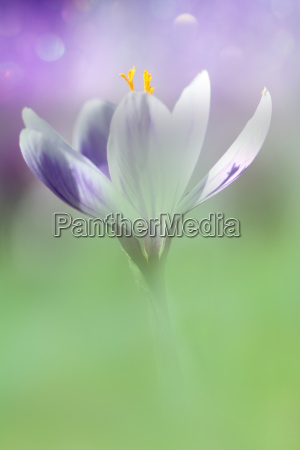 the crocus in delicate pastel color