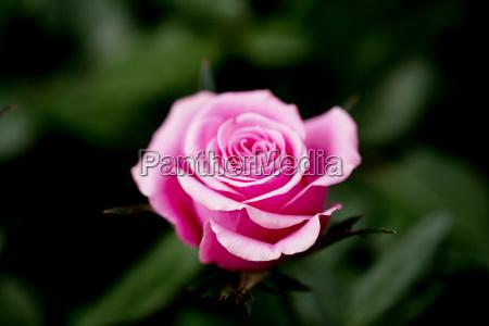 pinke rose bluehend im garten im