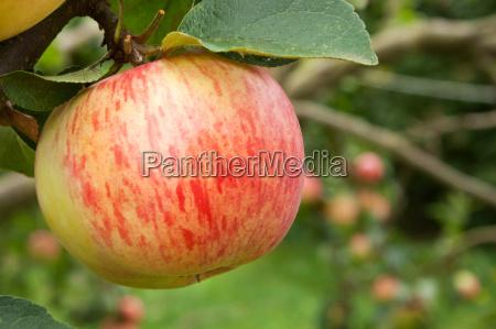 apple fresh apple fruit fresh fruit