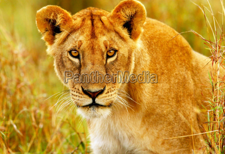 tier afrika kenia wildlife afrikanerin safari