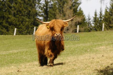 willow highlandcattle schottischeshochlandrind cow beef livestock