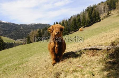 grazing highland cattle scottish highland cattle