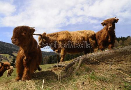weide highlandcattle schottischeshochlandrind kuh kuhe rind