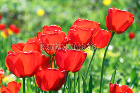 red tulips in the backlight
