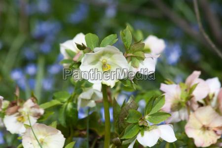 hellebore helleborus niger
