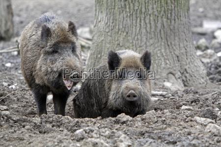 wildschweine im schlamm