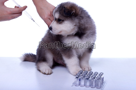 puppy while vaccinating