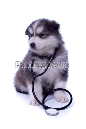 husky puppy with stethoscope