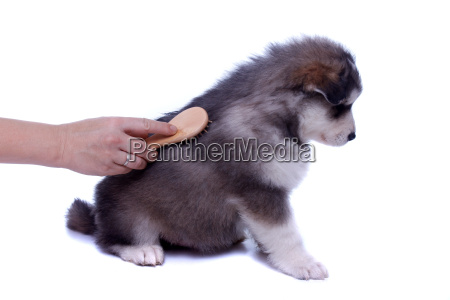 husky puppy when combing