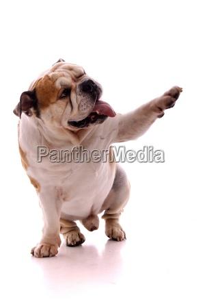dog english bulldog winks and shows