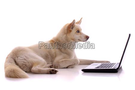 lying dog husky with laptop