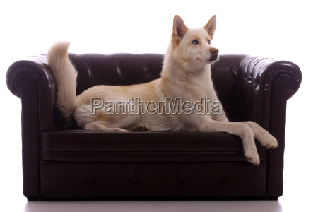 dog husky on leather couch looking