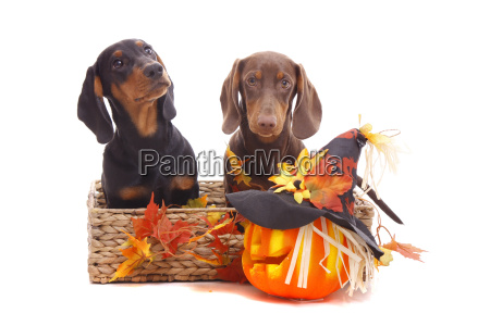 halloween dachshund puppies
