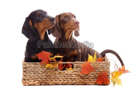 dachshund puppy sitting in a basket