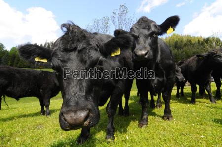 pasture angusrind cow cows beef farm