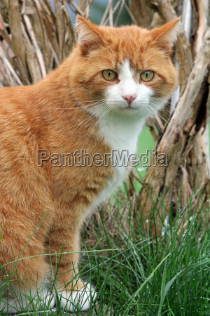 the red cat in the grass