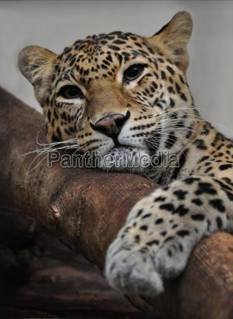 chilliger jaguar